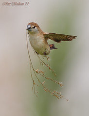 Indian Silverbill or White-throated Munia    () Tags: bird is or indian bin sultan usm munia qatar    whitethroated f28l silverbill  wachers  malabarica     lensef300mm euodice