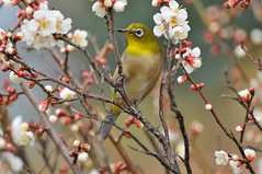 (myu-myu) Tags: flower bird nature japan nikon ume japanesewhiteeye zosteropsjaponicus   naturesfinest wildbird   prunusmume d300s birdperfect afsvrnikkored70300mmf4556g