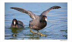 American Coots on Ice, Image Two (Eddie_NewYorkNature) Tags: duck waterbird coot shorebird americancoot iceandwater fulicaamericana flushingmeadowscoronapark newyorkbird newyorkcitypark wintebird