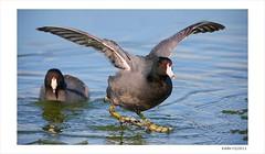 American Coots on Ice, Image Two (Eddie_NewYorkNature) Tags: duck waterbird coot shorebird americancoot iceandwater fulicaamericana flushingmeadowscoronapark newyorkbird newyorkcitypark wintebird
