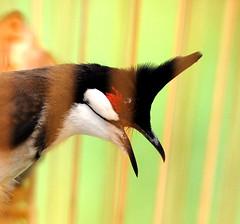Black Crested Bulbul. (Georgina Chin - The Accidental Photographer) Tags: black crested the bulbul