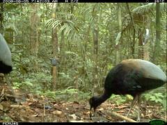 Grey-winged Trumpeter (siwild) Tags: largebirds greywingedtrumpeter psophiacrepitans taxonomy:common=greywingedtrumpeter file:name=img0308jpg sequence:index=4 siwild:study=peruocelotsurvey siwild:studyId=arabelasets siwild:plot=arabela geo:locality=northernperu taxonomy:group=largebirds siwild:camDeploy=perudeploy4 sequence:length=5 siwild:location=perulocb sequence:key=2 siwild:region=peru BR:QCID=5493128101 taxonomy:species=psophiacrepitans siwild:trigger=perubirdstaff5468 sequence:id=perubirdstaff5468 siwild:date=200806050742020 siwild:imageid=19584 file:path=epuntob520618peru45img0308jpg siwild:species=318 BR:batch=sla1220110304035437