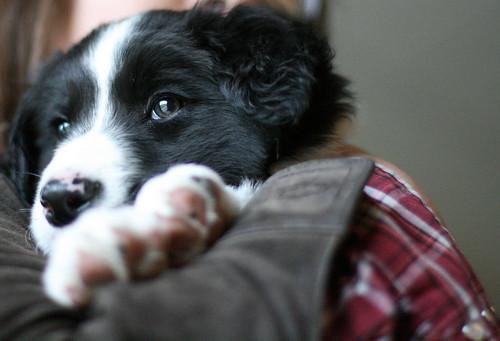 gibson_puppy