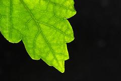 """2011_365062 - Backlit Leaf • <a style=""""font-size:0.8em;"""" href=""""http://www.flickr.com/photos/84668659@N00/5494260511/"""" target=""""_blank"""">View on Flickr</a>"""
