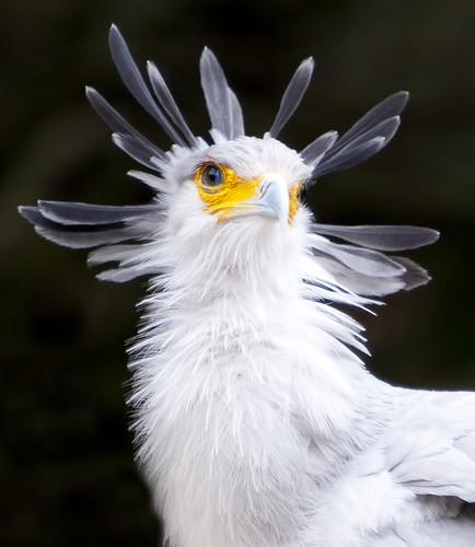 [フリー画像] 動物, 鳥類, ヘビクイワシ科, ヘビクイワシ, 201103061100