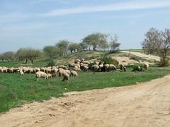 Sheep near Wadi Shari'a (Uri ZACKHEM) Tags: wwi negev naqab ziklag tallsharia