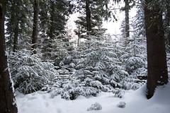 Snowy trees (vim2009) Tags: wood blue trees winter mountain snow mountains tree nature landscape ukraine carpathian  pentaxk10d rakhiv zakarpattia wintermenchul