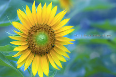 All I do is think of you (-clicking-) Tags: flower macro green nature floral beautiful yellow closeup garden petals spring dof natural blossom bokeh stamens sunflowers bloom lovely springtime blooming floralart pistils artflowers colorphotoaward hoahngdng bngmttri vietnameseflowers