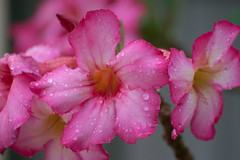 So refreshed (amataiclaudius) Tags: pink flower trinidad raindrops desertflower