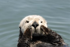 Jul1email (Friends of the Sea Otter) Tags: seaotter seaotters friendsoftheseaotter camera:whitebalance=auto camera:exposuretime=1250 camera:shutterspeed=1250 camera:progressivescans=3scans camera:resolutionunit=inches camera:flashfired=false camera:exposuremode=auto camera:orientation=horizontalnormal camera:make=nikoncorporation camera:flash=noflash camera:xresolution=180 camera:meteringmode=multisegment camera:sensingmethod=onechipcolorarea camera:contrast=normal camera:colorspace=unknown1 camera:isospeed=200 camera:lightvalue=130 camera:scenetype=directlyphotographed camera:exposureprogram=programae camera:sharpness=normal camera:circleofconfusion=0020mm camera:flashmode=unknown camera:model=nikond200 camera:focallength=2000mm camera:imagewidth=1260 camera:createdate=200607070716320700 camera:modifydate=200607070717020700 camera:imageheight=843 camera:datetime=200607030054120700 camera:hyperfocaldistance=24962m wwwseaottersorg