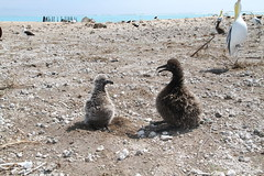Black-footed Albatross chick and Short-tailed Albatross Chick