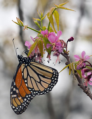 Monarch butterfly (jim_mcculloch) Tags: flowers lepidoptera buttterflies ungnadiaspeciosa