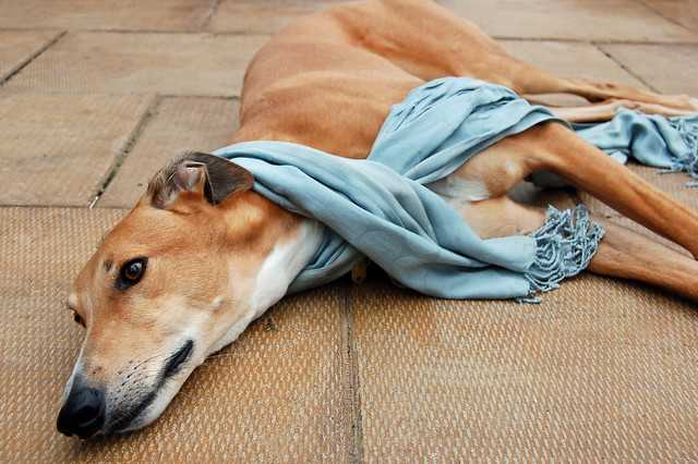 dogs in scarves