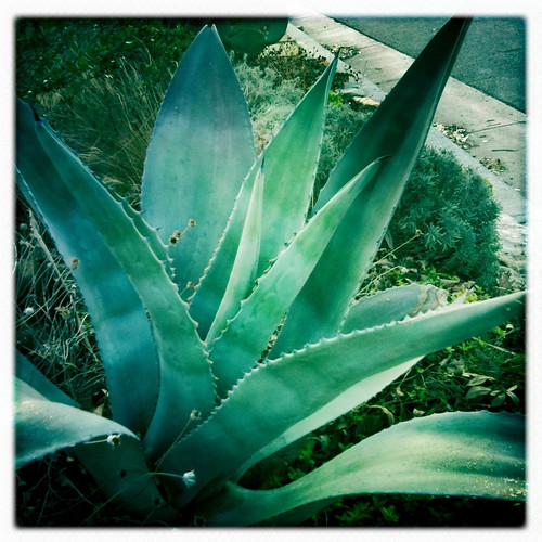 Big Agave in our front bed