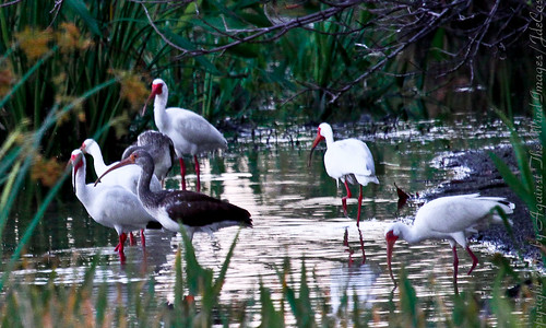 Ibis Rookery-9676 by Against The Wind Images