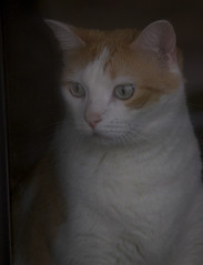 eddy the cat (davedehetre) Tags: cute window cat fur nose eyes friend whiskers stare eddy