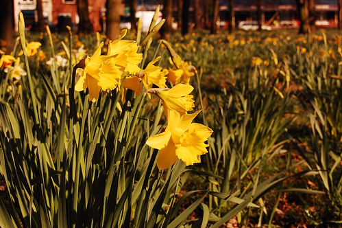 Daffodils for Merry and Freddie
