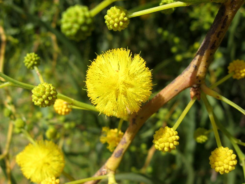 19-03-2011-sweet-acacia2