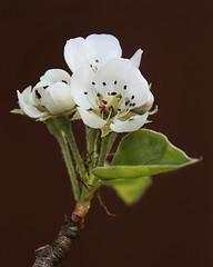 apple blossom (Jerry Cartlidge) Tags: apple canon lens blossom sigma eos450d