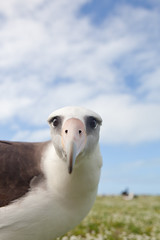 Aly the Albatross - Midway Atoll