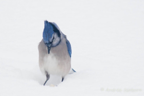 Blue Jay (2 of 7).jpg