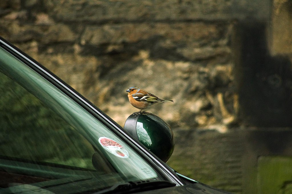 Poop on that car, little chaffinch! by jsutcℓiffe, on Flickr