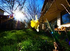 frhlingsblick 2 (Bilderschreiber) Tags: light sun flower green garden licht spring view sunburst unusual grn blume sonne garten frhling sunflare narzisse frhlingsblick