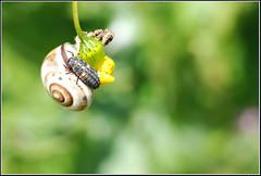 Variegated Lady Beetle larvae -     (Eran Finkle) Tags: macro closeup ladybird ladybug ladybeetle larvae larva coccinellidae  raynoxdcr250 hippodamiavariegata variegatedladybeetle    nikon2880mmf3356g    eranfinkle    13