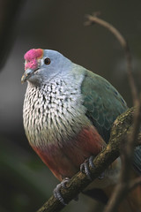 Rose-crowned fruit-dove (R_P_F) Tags: bird nsw tarongazoo mosman rosecrownedfruitdove