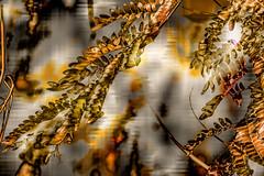 Primeros oros (seguicollar) Tags: hojas levaes plantas planta oros otoo imagencreativa virginiasegu photomanipulacin artedigital arte art artecreativo