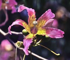 Palo borracho (cpoyato.com) Tags: naturaleza flores flower plantas flor magenta amarillo palo vegetal borracho vegetales florecita verdura paloborracho algodonero yucan palobotella