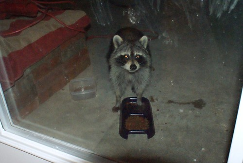 Raccoon visitor