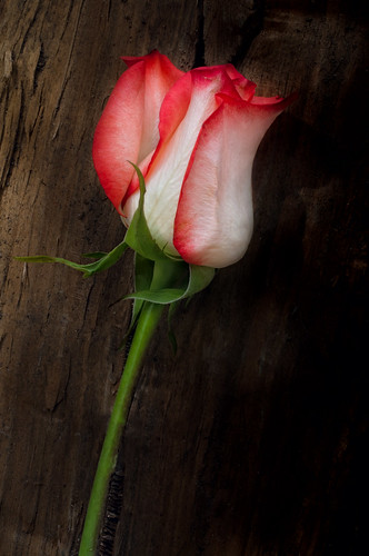 Rose with Wood Background