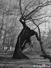 The Tree of Death? (knipsfredi) Tags: tree river germany deutschland harrypotter fluss rhine rhein baum mannheim sleepyhollow flus waldpark whompingwillow treeofdeath magicaltree treeofthedeath knipsfredi knipsfreddy