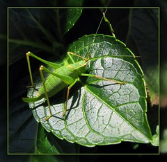 I love green (catlovers) Tags: macro green leave nature animal insect grn makro heuschrecke grashopper grashpfer catlovers topshots natureselegantshots flickraward flickrsportal februar2011