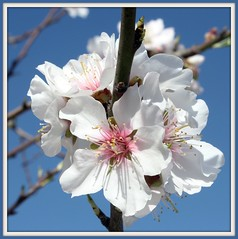 Blossom time.!!! (Mumsie Wood) Tags: flowers blue trees sky white lake macro yellow petals spain dof blossom branches almond stamens explore buds pollen twigs mindigtopponalwaysontop torromendo dblringexcellence centrespink