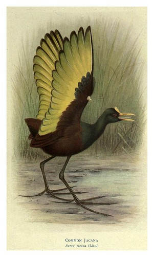017-Jacana comun-Birds of La Plata 1920- William Henry Hudson