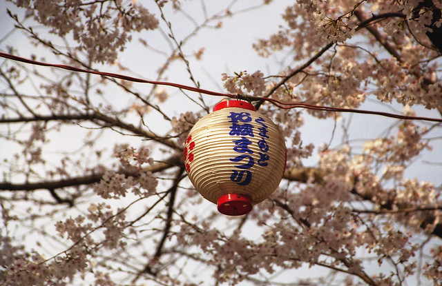 提灯と桜のフリー写真素材