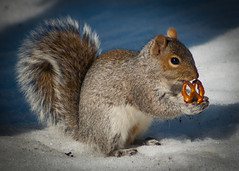 Day 38 , Larry the squirrel (Gregg's Shots) Tags: winter snow cold ice d50 squirrel eating critter pretzel manualfocus