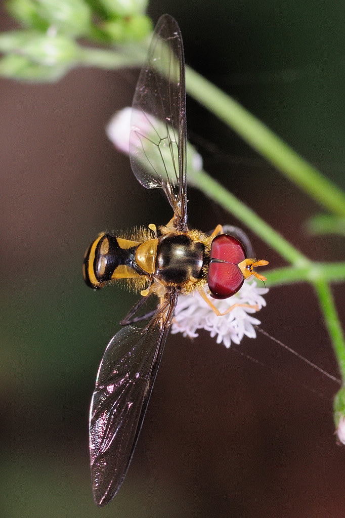 食蚜蠅 Episyrphus sp.