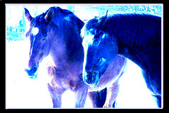 Blaue Pferde , effect   -  08 (roba66) Tags: blue horses horse animals fauna caballo cheval tiere pferde visualart chevaux galope roba66