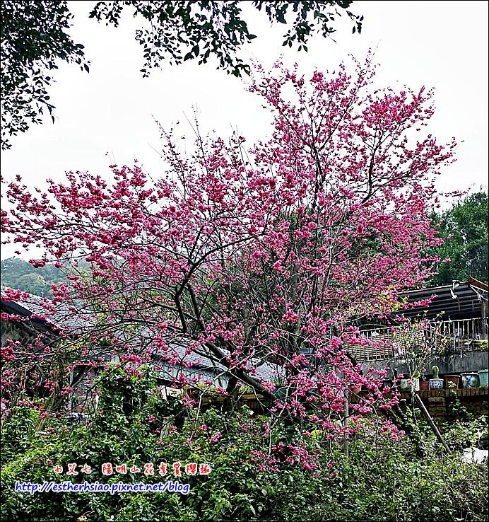 45 另一處民宅的美麗櫻花