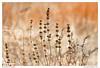 Dry Flowers (Daniel Ray) Tags: park winter lake grass delete10 delete9 weed texas delete7 wildlife dry delete8 save2 wetlands brazosbend brazosbendstatepark plantanimal deadwildlife tpwmagazinef11