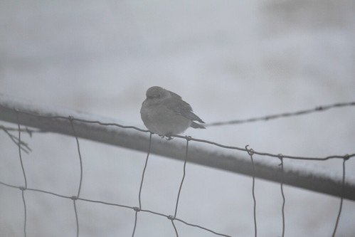 blue-bird-in-snow-(12)