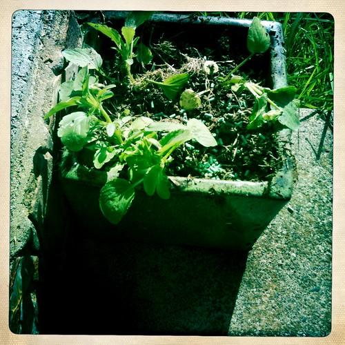 Pansies. Planted.
