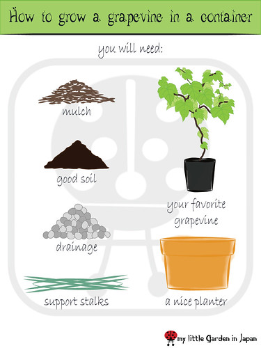How-to-grow-a-grapevine-in-a-container-1