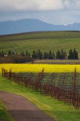 Mustards and Vineyards (Joe Dsilva) Tags: california ca vineyards napavalley napa mustards napavineyards ca121 ca121vineyards napamustards vineyardmustards