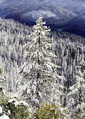 Wawona Pines (II) (hims) Tags: trees winter delete10 delete9 delete5 delete2 delete6 delete7 delete8 delete3 delete delete4 save yosemite snowfall delete11 tuolumnemeadows wawona d700 february2011 deletedbydeletemeuncensored