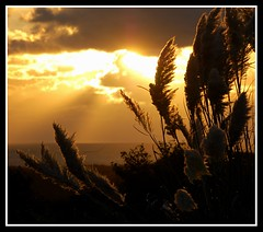 When you stopped loving me i died inside forever...... (Levels Nature) Tags: uk sunset sea england sky sun plant beach nature grass backlight clouds gold golden coast devon backlit pampassgrass woolacombe northdevon pampass