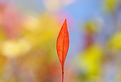 Red Leaf - Straightened (fcphoto) Tags: california blue red sky usa macro closeup leaf spring bokeh lone northern sonyalpha fcphoto